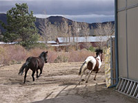 Bugz, the survivor of the Reno horse massacre, and Spirit, another rescued mustang, at their home near the range.